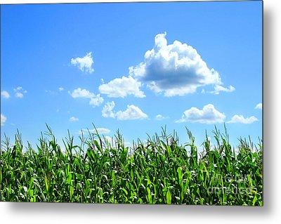 Field Of Corn In August Metal Print by Sandra Cunningham