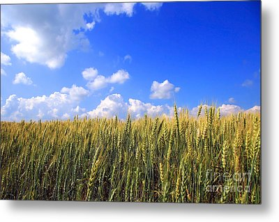 Field Of Wheat  Metal Print by Sandra Cunningham