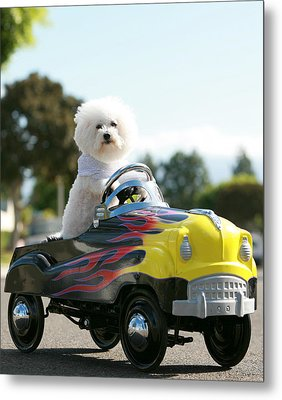 Fifi Goes For A Car Ride Metal Print by Michael Ledray