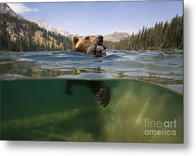 Fishing Grizzly Metal Print by Jean-Louis Klein & Marie-Luce Hubert