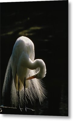 Flamboyant Plumes Mark The Breeding Metal Print by Farrell Grehan