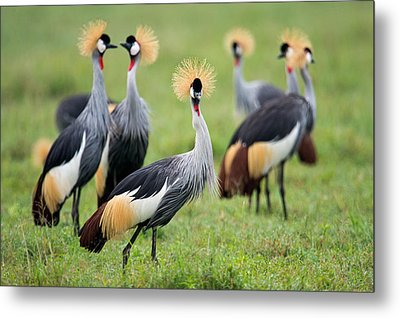 Flock Of Grey Crowned Cranes Balearica Metal Print by Panoramic Images