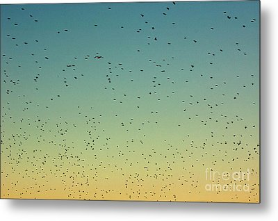 Flock Of Swallows Flying Together At Sunset Metal Print by Sami Sarkis