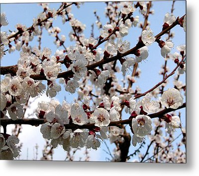 Flowering Apricot Tree Metal Print by Will Borden