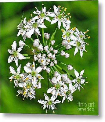 Flowering Garlic Chives Metal Print by Kaye Menner