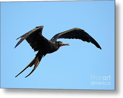 Flying Great Frigate Metal Print by Sami Sarkis