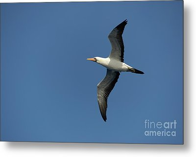 Flying Masked Booby In Flight Metal Print by Sami Sarkis