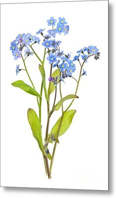 Forget-me-not Flowers On White Metal Print by Elena Elisseeva