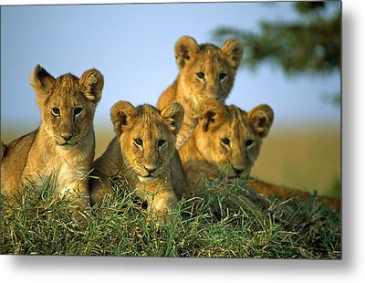 Four Lion Cubs Metal Print by Johan Elzenga