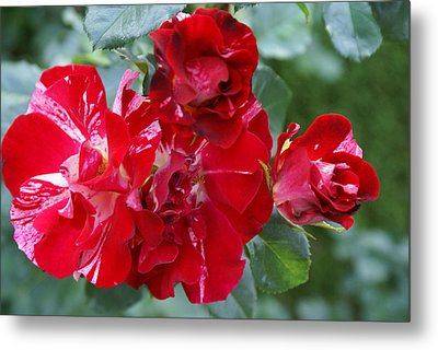 Fourth Of July Roses Metal Print by Jacqueline Russell