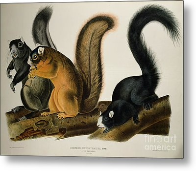 Fox Squirrel Metal Print by John James Audubon