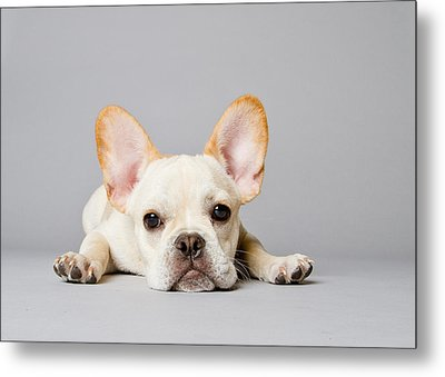 French Bulldog Metal Print by Square Dog Photography