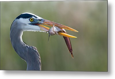 Fresh Catch Metal Print by Alfred Forns