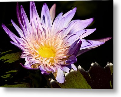 Frilly Lilly Metal Print by Teresa Mucha