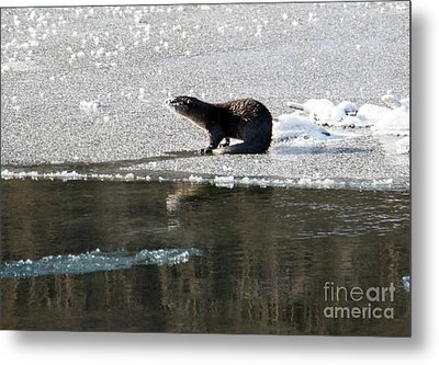 Frosty River Otter  Metal Print by Mike Dawson