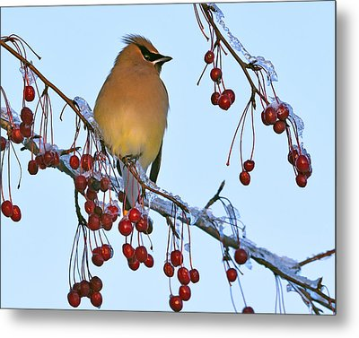 Frozen Dinner  Metal Print by Tony Beck