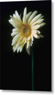 Gerber Daisy Metal Print by Laurie Paci