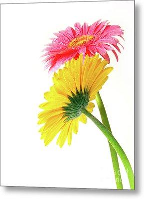 Gerber Flowers Metal Print by Carlos Caetano