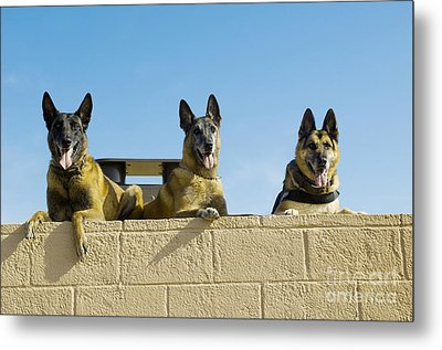 German Shephard Military Working Dogs Metal Print by Stocktrek Images