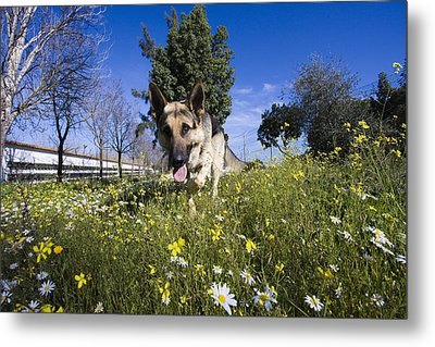 German Shepherd Metal Print by Andre Goncalves