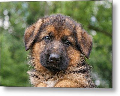 German Shepherd Puppy II Metal Print by Sandy Keeton