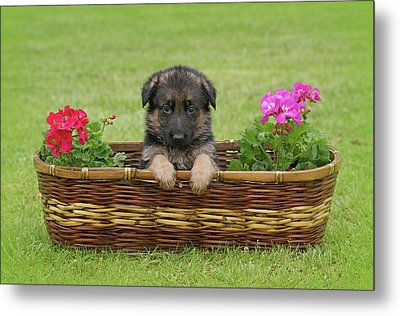 German Shepherd Puppy In Basket Metal Print by Sandy Keeton