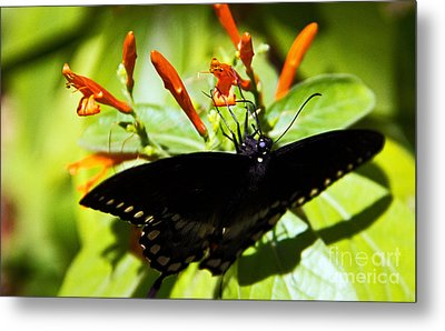 Getting The Nectar Metal Print by Kelly Holm