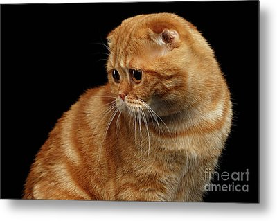 Ginger Scottish Fold Cat Looking Back Isolated On Black  Metal Print by Sergey Taran