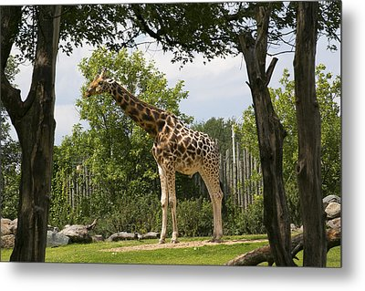 Giraffe Metal Print by Michel DesRoches