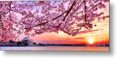 Glorious Sunset Over Cherry Tree At The Jefferson Memorial  Metal Print by Olivier Le Queinec