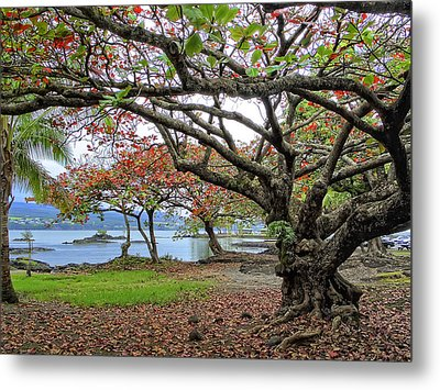 Gnarly Trees Of South Hilo Bay - Hawaii Metal Print by Daniel Hagerman