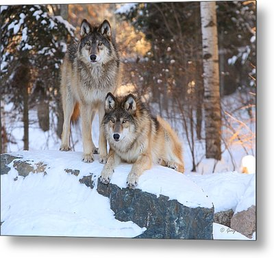 Go Get Him Metal Print by Gerry Sibell