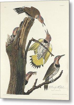 Gold-winged Woodpecker Metal Print by John James Audubon