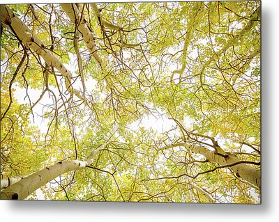 Golden Aspen Forest Canopy  Metal Print by James BO Insogna