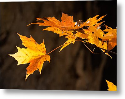 Golden Maple Arch Metal Print by Ross Powell