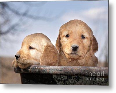 Golden Puppies Metal Print by Cindy Singleton