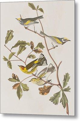 Golden Winged Warbler Or Cape May Warbler Metal Print by John James Audubon