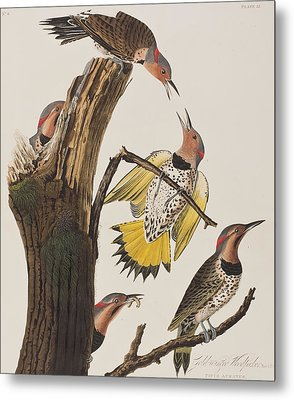 Golden-winged Woodpecker Metal Print by John James Audubon