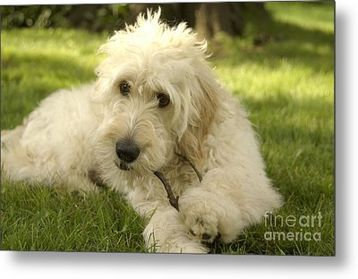 Goldendoodle Puppy And Stick Metal Print by Anna Lisa Yoder