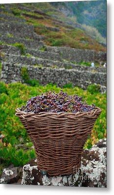 Grape Harvest Metal Print by Gaspar Avila