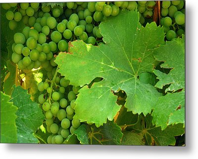 Grape Vine Heavy With Green Grapes Metal Print by Anne Keiser
