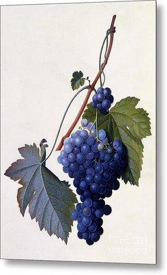 Grapes Metal Print by Georg Dionysius Ehret