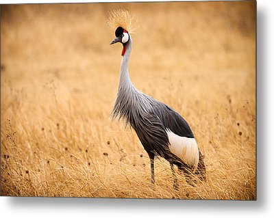 Gray Crowned Crane Metal Print by Adam Romanowicz