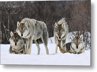 Gray Wolf Canis Lupus Group, Norway Metal Print by Jasper Doest