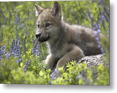 Gray Wolf Canis Lupus Pup Amid Lupine Metal Print by Tim Fitzharris