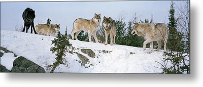 Gray Wolves Canis Lupus In A Forest Metal Print by Panoramic Images