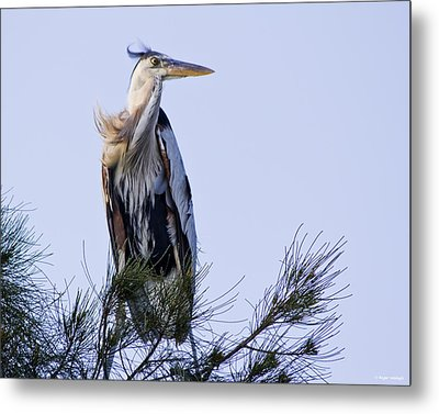 Great Blue Heron On A Windy Day Metal Print by Roger Wedegis