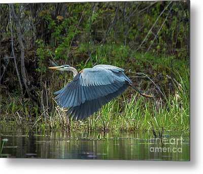 Great Blue Heron Take Off Metal Print by Cheryl Baxter