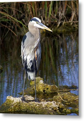 Great Blue Metal Print by Marty Koch