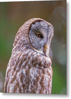 Great Gray Owl Portrait Metal Print by Loree Johnson